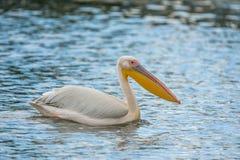 Pelecanus onocrotalus weißer Pelikan auf Wasser Stockfotografie