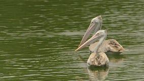 Pelecanus philippensis -对斑点发单了游泳在一个平静的湖的鹈鹕 免版税库存图片