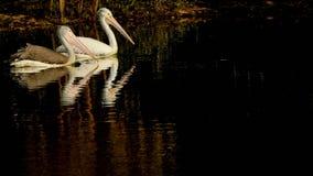Pelecanus philippensis - Pair of Spot billed pelicans swimming on a serene lake stock photos