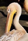Pelecanusonocrotalus Arkivbild