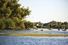 Pelecanusonocrotalus den naturliga miljön, Donaudeltan Royaltyfria Foton