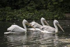 Pelecanusonocrotalus för vita pelikan Arkivfoton
