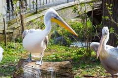 Pelecanusonocrotalus också som är bekant som den östliga vita pelikan Arkivbilder