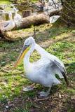 Pelecanusonocrotalus också som är bekant som den östliga vita pelikan Royaltyfri Foto