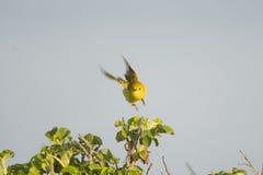 加拿大地点国家安大略公园pelee点鸣鸟黄色 免版税库存图片