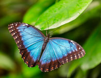 Peleides在叶子的蓝色Morpho 图库摄影