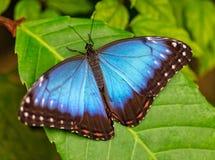 Peleides голубое Morpho на лист Стоковая Фотография