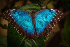 Peleides blåttMorpho fjäril Royaltyfri Bild
