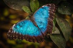 Peleides blåttMorpho fjäril Arkivfoto