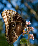 Peleides Blue Morpho Royalty Free Stock Photography