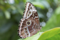 Peleides Blue Morpho Butterfly Royalty Free Stock Photography