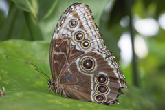 Peleides Blue Morpho Butterfly Stock Images