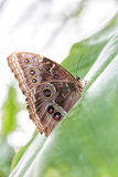 Peleides Blue Morpho Butterfly Royalty Free Stock Photos