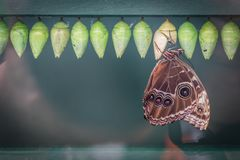 Peleides blue morpho butterfly and cocoons