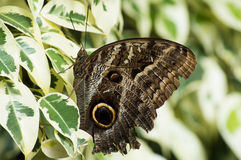 The Peleides Blue Morpho butterfly Stock Photo
