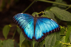 Peleides Blue Morpho. Portrait of tropical common morpho butterfly  on the green leafs Stock Images