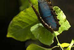 Peleides Morpho blu di Morpho su fogliame verde fotografia stock libera da diritti