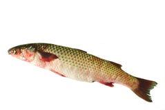 Pelengas dos peixes Fotos de Stock