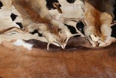 peles de raposa com sua cabeça na venda em bens de couro handcrafted Imagens de Stock