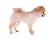 Peli di scarsità di marrone del cane di Pomeranian Fotografia Stock