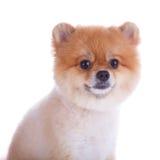 Peli di scarsità di marrone del cane di Pomeranian Fotografie Stock