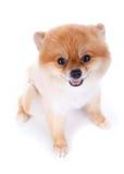 Peli di scarsità di marrone del cane di Pomeranian Fotografia Stock Libera da Diritti