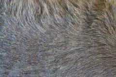 Peli modellati del gatto Fotografie Stock Libere da Diritti