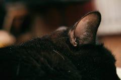 Peli neri dell'orecchio del gatto della natura dell'animale domestico dell'animale giovane fotografia stock libera da diritti