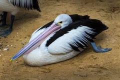 Pelica paresseux photos libres de droits