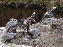 Pelican& x27 φωλιές του s Στοκ εικόνα με δικαίωμα ελεύθερης χρήσης