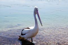Pelican @湖Macquarie,澳大利亚 免版税库存照片