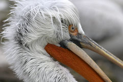 Pelican. Punker Stock Images