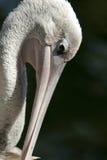 Pelican. Closeup Stock Photography