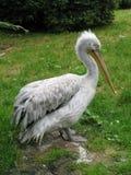 Pelican. A pelican in the zoo-garden stock image