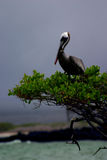 The Pelican. A pelican on a tree in the galapagos, with waer under him stock image
