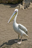 Pelican. Standing in the zoo Royalty Free Stock Photo
