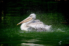 Pelican. One Pelican swim on the see stock image