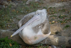 Pelican. Grey pelican lying on the ground royalty free stock images
