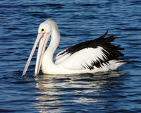 Pelican. It looks like this pelican is smiling but he is actually fishing royalty free stock images