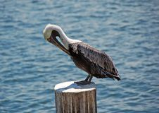 Pelican. Resting on pole over water royalty free stock photography