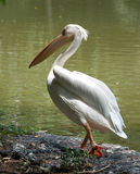Pelican. Big bird pelican walking and ready to dive into  pool Stock Image