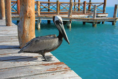 Free Pelican Stock Photo - 12747080