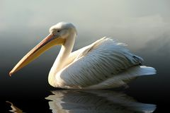 Pelican. Swimming on the sea stock photo