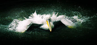 Pelican. A pelican spreading its wings in the water Stock Image
