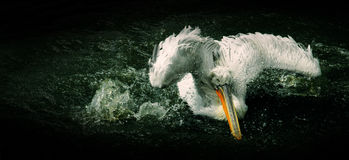 Free Pelican Royalty Free Stock Image - 13223206