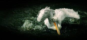 Pelican. Splashing water in a lake Royalty Free Stock Image
