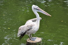 A Pelican Royalty Free Stock Photography