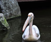 A Pelican Royalty Free Stock Photos