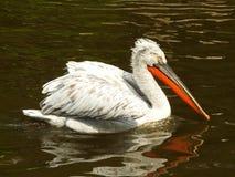 Pelican Royalty Free Stock Photo