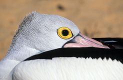 Pelican. Head of a pelican west-Australia royalty free stock image